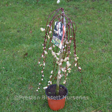 Salix Caprea Kilmarnock Weeping Willow Small