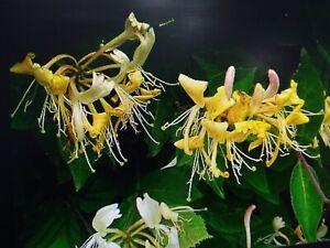 wild honeysuckle seeds 20 seeds , very high evening fragrance  loved by wildlife
