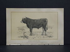 Cows Bulls Cattle Dairy Farming 1888 Engraving #055 Brown Schwizer Bull
