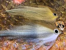 2 V Fly Size 6/0 HDD Ultimate Alphonse GT Mullet Baitfish Saltwater Flies