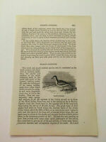 K128) View of Wilson's Sandpiper Marsh Bird Ornithology 1870 Engraving