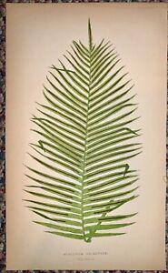 Collectible,Art,Antique,Nature Prints,2,Ferns,Edward Lowe Chromolithgraphs,1859
