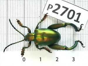 P2701 # Cerambycidae Lucanus insect beetle Coleoptera Vietnam