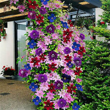 50PCS Mixed Colors Clematis Climbing Flower Seeds Home Garden Plants Decor