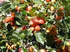 Malus John Downie, Crab Apple Tree beautiful flowers & fruit grown peat free 4ft