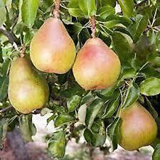 Dwarf Patio Fruit Tree- Pear- Variety 'Doyenne du Comice' - Approx 75cm Tall