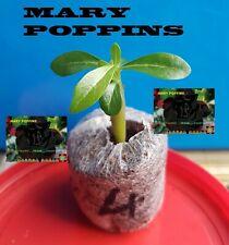 ❀●⊱ ADENIUM OBESUM DESERT ROSE ❁ MARY POPPINS ❁ PLUG PLANT + COCO COMPOST ⊰❀