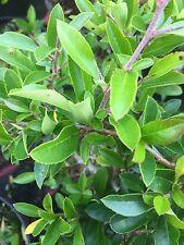 Pyracantha Soliel Dór-  Yellow firethorn - 2 Litre pot