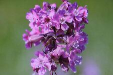 40 Samen Pechnelke, Viscaria vulgaris #748