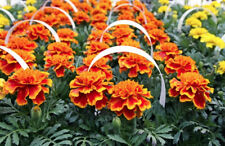 FRENCH MARIGOLD 'Mix' 60+ seeds dwarf type COMPANION PLANTING flower garden
