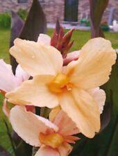 Canna Lily enano marrón hojas 'Angel Martin' (tubérculo) GRATIS UK FRANQUEO