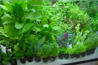 25 - 30  LIVE AQUARIUM AQUATIC TROPICAL FISH TANK PLANTS WATER  BUNCHED Tropical