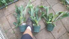 Mature Staghorn Fern,24 hr sale  South Florida Grown