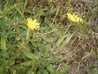 kleines Habichtskraut, Pilosella officinarum, 100 Samen