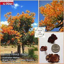 7 WESTERN AUSTRALIA CHRISTMAS TREE SEEDS (Nuytsia floribunda); Australian Native