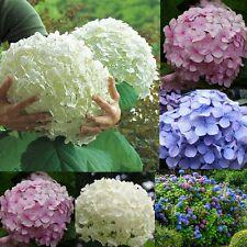 New listing Beautiful Hydrangea Flower Seeds Outdoor Garden Perennial Seed 50Pcs