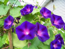 morning glory vine, Grandpa Ott, purple flower, 40 Seeds! GroCo