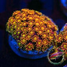 New listing Laker's Goni - Wysiwyg Live Coral Frag- Top Tier Aquatics