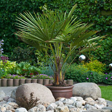 More details for hardy fan palm tree trachycarpus 60-70cm (inc pot) with trunk