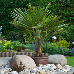 Hardy Fan Palm tree Trachycarpus 60-70cm (inc pot) with trunk