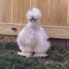 10 Silkie Chicken Fertile Hatching Eggs - All Colors, Extra fluffy, & Precious!