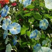 Morning Glory-Flying Saucer- 15 Seeds