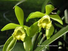 "Vanilla planifolia Flower Orchid plant vine rope Bean Pod 18"" Inch SPICE Extract"