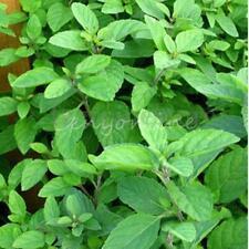 1000 Semillas Seeds Menta Piperita Aromatica Mint Mentha Viridis Spearmint Hoja