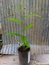 Colossal Chestnut (edible nut) - live plant - (European x Japanese)