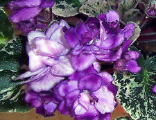 African violet Fisherman's Paradise pair of leaves