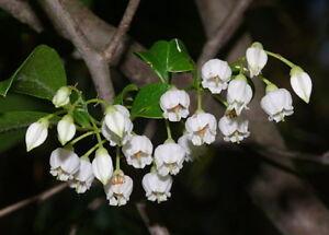 Sparkleberry   Tree Huckleberry Vaccinium arboreum 10 Seeds  (Free US Shipping)