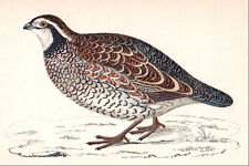 1860 vintage VIRGINIAN PARTRIDGE bird original hand painted engraving MORRIS