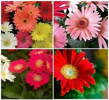 20+ CALIFORNIA GIANT GERBERA DAISY FLOWER SEED MIX / PERENNIAL
