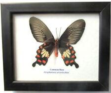 * Cadre Véritable Papillon, The Common Rose