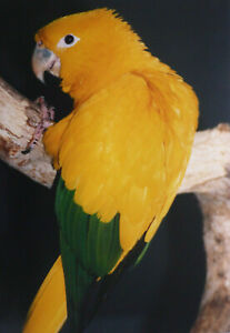 YELLOW AND GREEN PARROT BIRD ORIGINAL PHOTO 9.9 X 6.9 INCHES BY MEL LONGHURST
