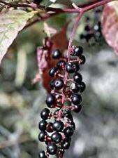 Pokeweed .... Medicinal .... 30 Seeds