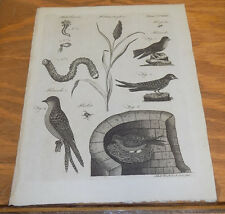 1797 Antique Print  ///  SORGHUM PLANT, SWALLOWS and BEETLES