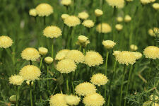 Garten Pflanzen Samen winterharte Zierpflanze Saatgut Staude GUMMIBÄRPFLANZE