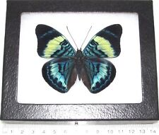 Panacea prola Real Framed Butterfly Blue Peru