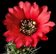 Echinopsis crassicaulis Deep Red Flowers South American Cactus 69