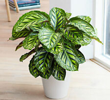 Calathea 50 Rare Seeds Air Freshening Beautiful Flowers Office Desk Bonsai Bloom