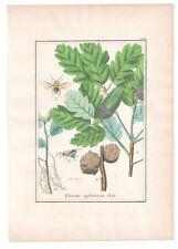 1846, Antique H/C print, Quercus Infectoria, Winkler Medical Botany