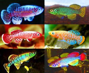 120 Eggs Killifish (6 Species) Rare Nothobranchius HATCHING TROPICAL FISH +Food
