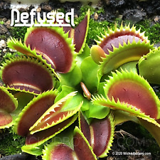 """Venus Flytrap - Defused (Fused Tooth) - Young 1-2"""" Potted Starter Plant"""