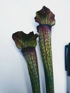 """21"""" GR/PURPLE Pitcher Plant Stems. Silk Flower Floral Arrangements."""