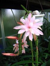 Aporocactus-Hybride 'Moonlight', Schößling