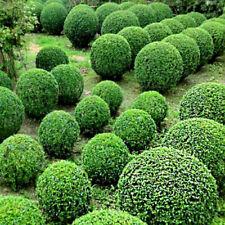 100 Pcs Seeds Juniper Balls Flowers Purify Air Absorb Harmful Gases Garden Plant