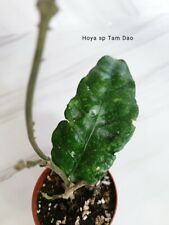 Hoya sp Tam Dao plant, waxplant, cutting with leaf - rooted