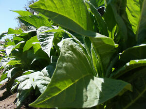 Seeds Tobacco Smoking Virginia Giant Big Leaf Cigar Organic Heirloom Ukraine