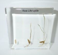 Rice Oryza sativa Germination 3 Stage Life Cycle Simplified Set Learning Aid